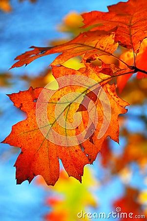 Free Fall Oak Leaves Stock Photos - 3454363