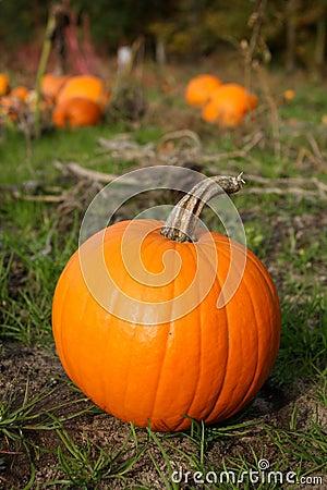 Fall Pumpkin in Field