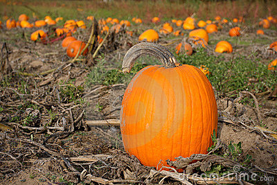Fall Pumpkin in Field