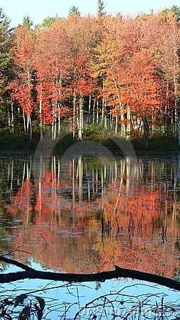 Fall: red trees reflected