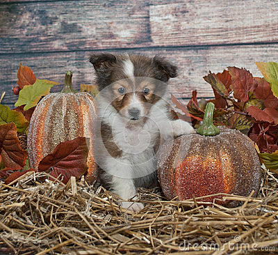 Free Fall Sheltie Puppy Stock Image - 34934031