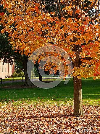 Fall: sunlit yellow tree green lawn