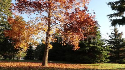 Fall tree. A tree sits in the sun moving as the wind blows. The time lapse, originally 9 minutes, is speed up as we watch the Fall Foliage colors bounce around stock footage