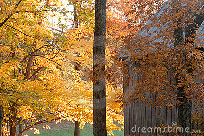 Fall trees in color near rustic barn