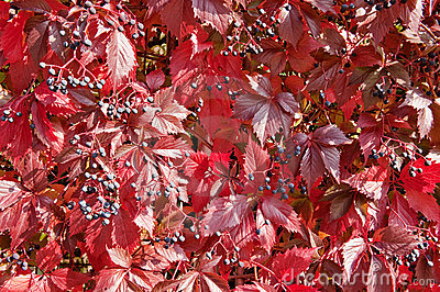 Fall wild wine