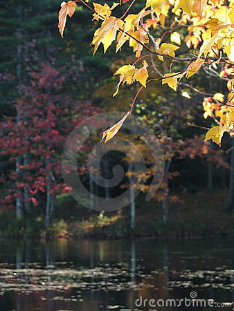 Fall: yellow leaves dark pond