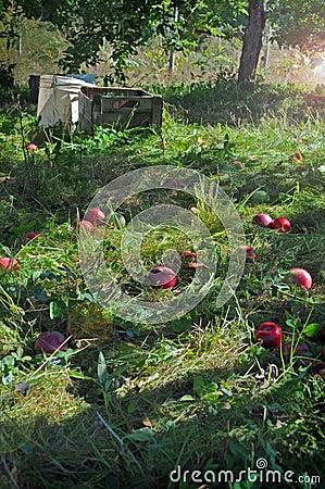 Fallen Apples in an Apple Orchard