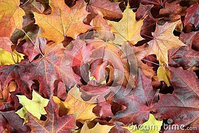 The fallen autumn leaves