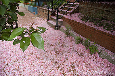 Fallen Cherry Blossoms