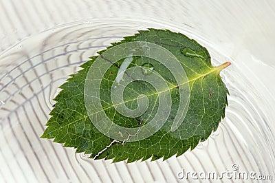 Fallen down leaf of a rose