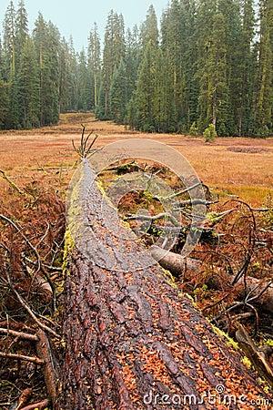 Fallen Giant Tree