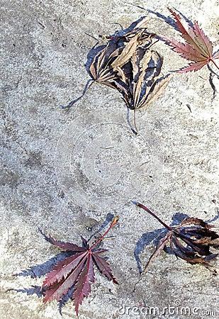 Free Fallen Japanese Maple Leaves Stock Photos - 30483