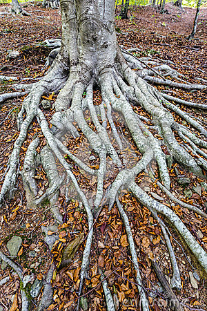 Free Fallen Leaves On The Chestnut Tree Roots Stock Photography - 74604732