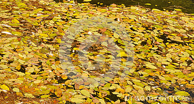Fallen leaves on the water
