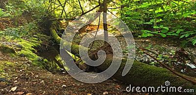 Fallen Mossy Log in Quiet Forest