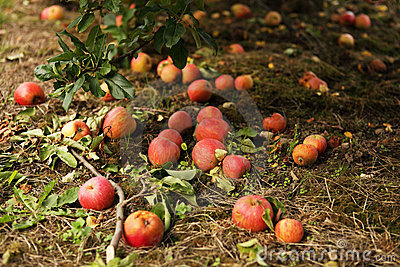 Fallen red apples