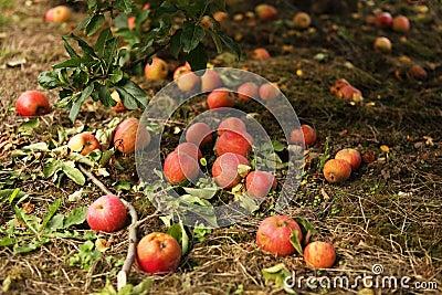 Fallen red apples