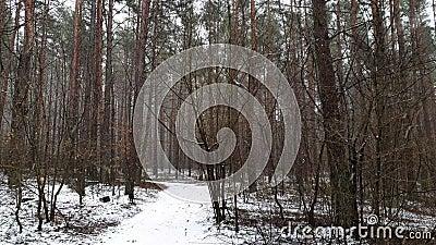 Fallender Schnee im Winterwald stock video footage
