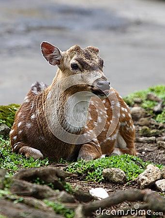 Free Fallow Deer Royalty Free Stock Photos - 14708138