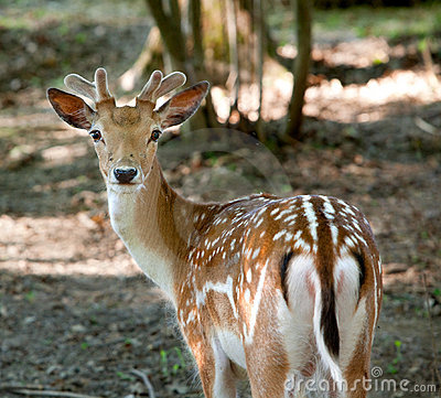 Free Fallow Deer Royalty Free Stock Photography - 19862527