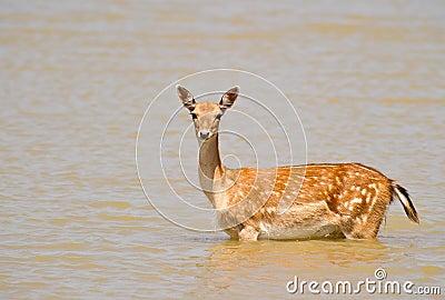 Fallow deer on alert