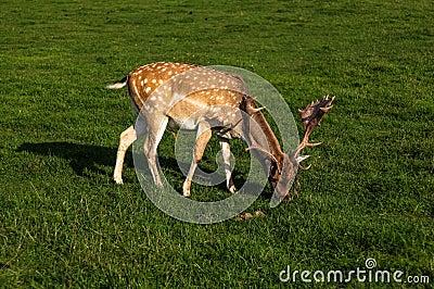 A fallow deer buck