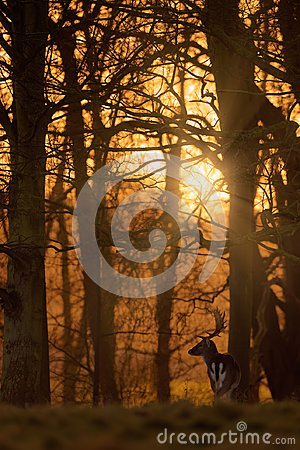 Free Fallow Deer Buck In Wood At Sunrise Royalty Free Stock Photography - 108970387