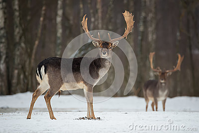 Fallow Deer Buck. Majestic powerful adult Fallow Deer, Dama dama, in winter forest, Belarus. Wildlife scene from nature, Europe.A Stock Photo