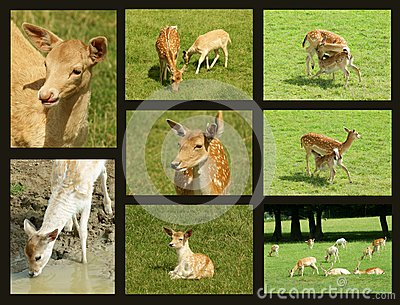 Fallow deer collage