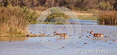 Fallow Deer crossing the lagoon among ducks