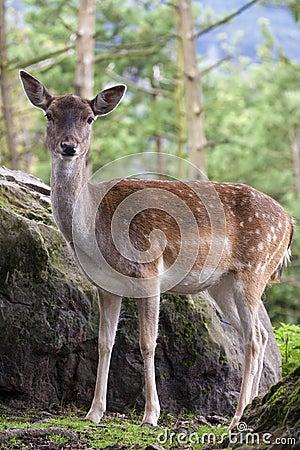 The Fallow Deer (Dama dama)