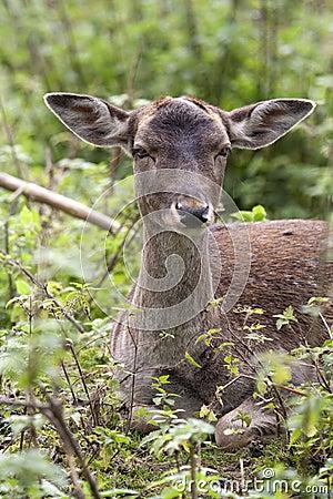 Fallow deer (Dama dama) female.