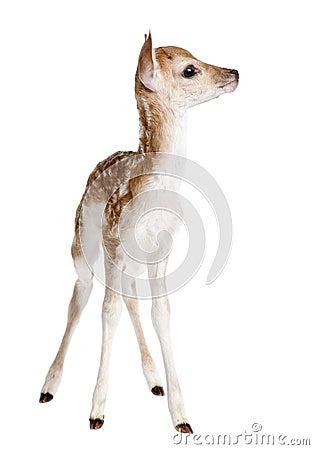 Free Fallow Deer Fawn - Dama Dama (5 Days Old) Royalty Free Stock Photo - 10047565