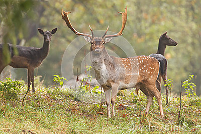 Fallow deer with females