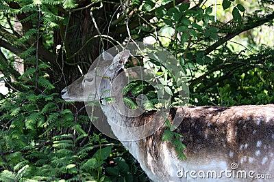 Fallow deer hiding