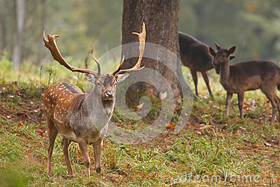 Fallow deer with hinds