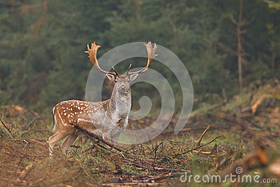 Fallow deer looking at camera