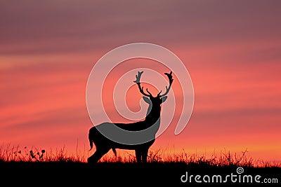 Fallow deer silhuette.