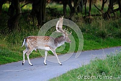 Fallow-deer on the street