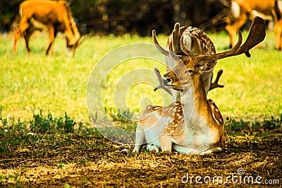 An  fallow deer