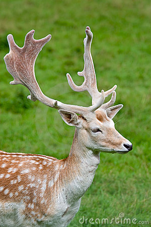 Fallow deer in the wilderness