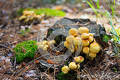 False armillaria mushrooms (Hypholoma fasciculare)