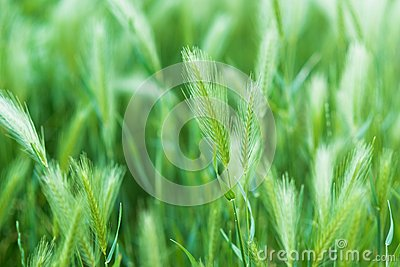 False Barley
