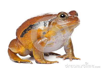 False Tomato Frog, Dyscophus guineti