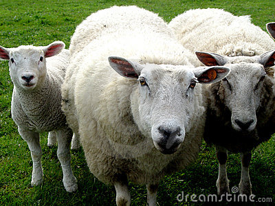 Família de lãs