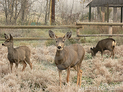 Família dos cervos de mula