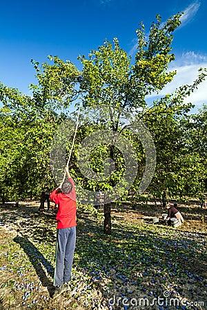 Família na colheita da ameixa
