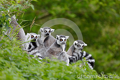 Famiglia del Lemur