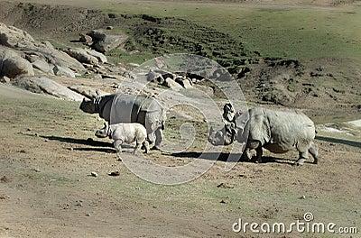 Famiglia di rinoceronte