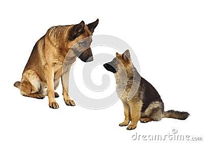 Famiglia tedesca di shepard